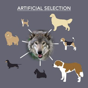 Artificial Selection - Dogs